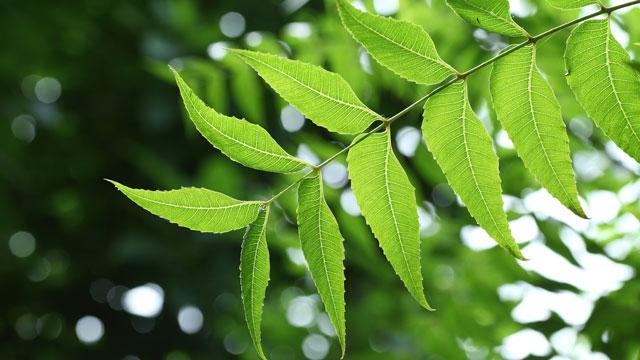 印楝粉的好处和用法——奇妙的叶子