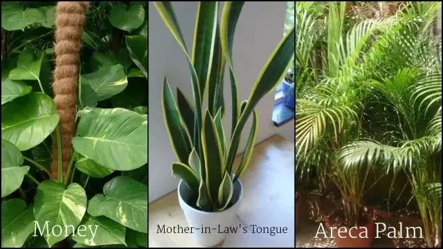 帮助你净化家中空气的三种植物