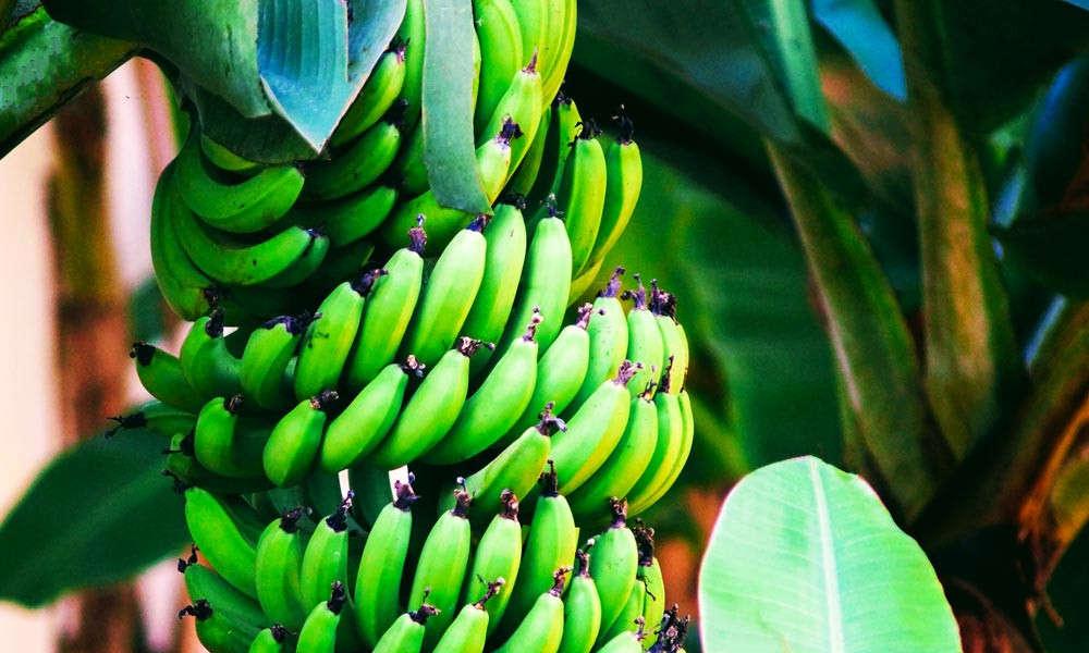 香蕉的十个不可思议的健康益处